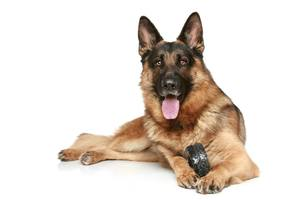 German Shepherds are popular pure breeds among dog owners