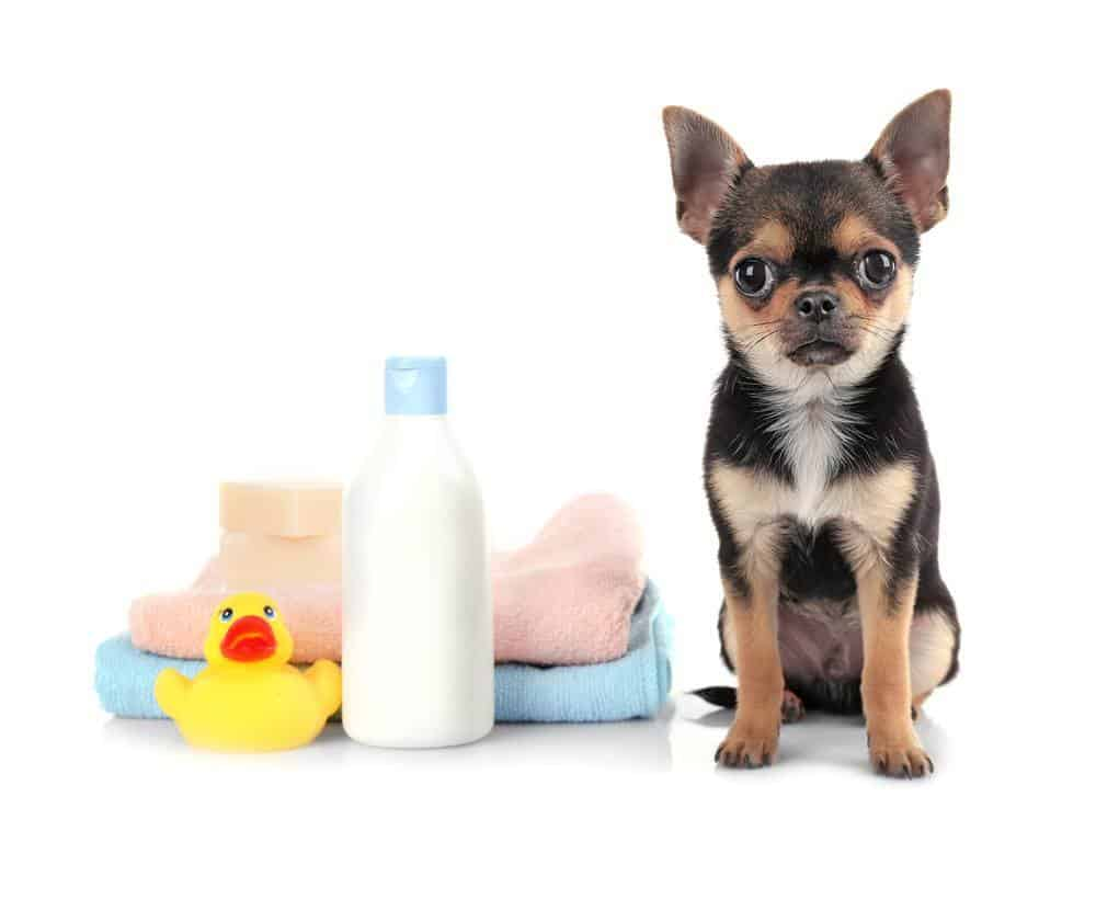 Chihuahua puppy, towels and shampoo bottle isolated on white
