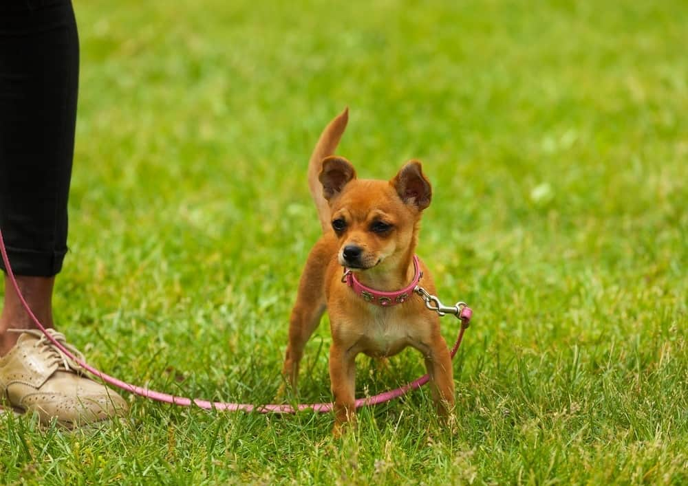 Chihuahua wearing standard leash