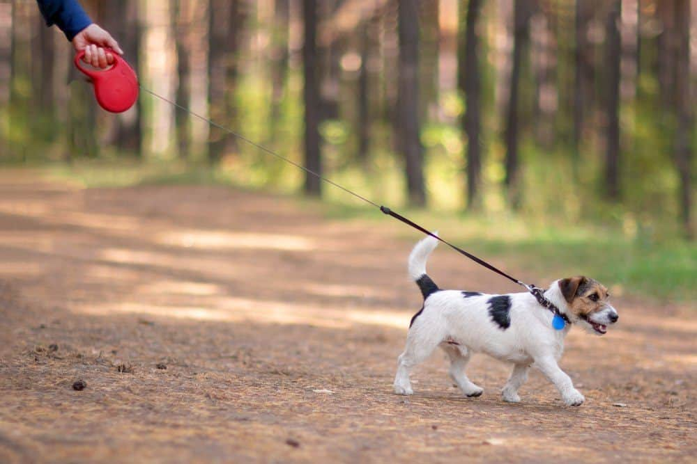 Little dog walking on retractable leash