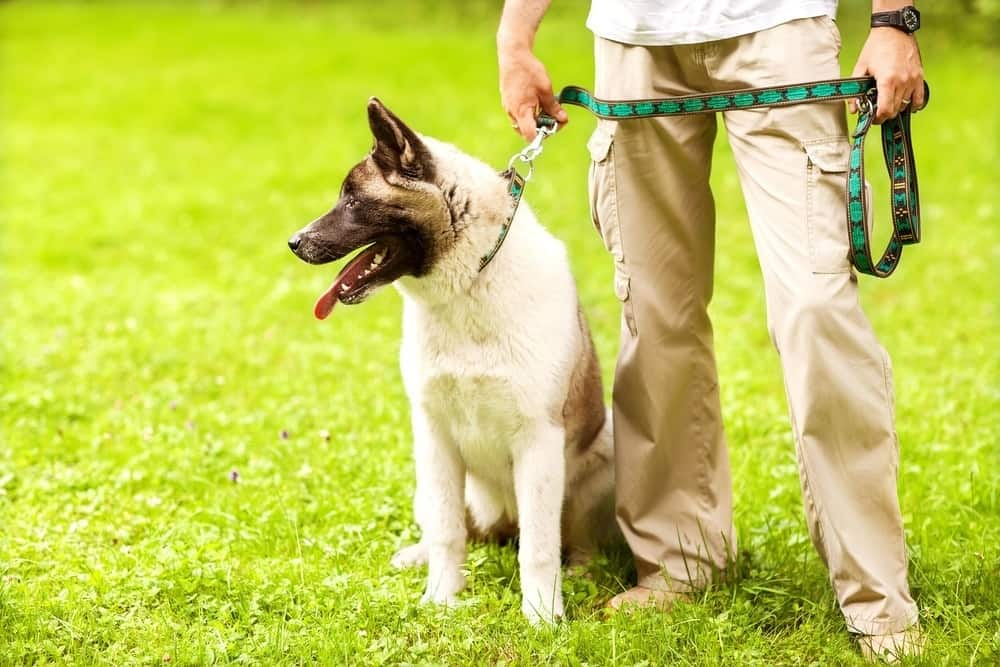 Akita Inu dog training with short leash