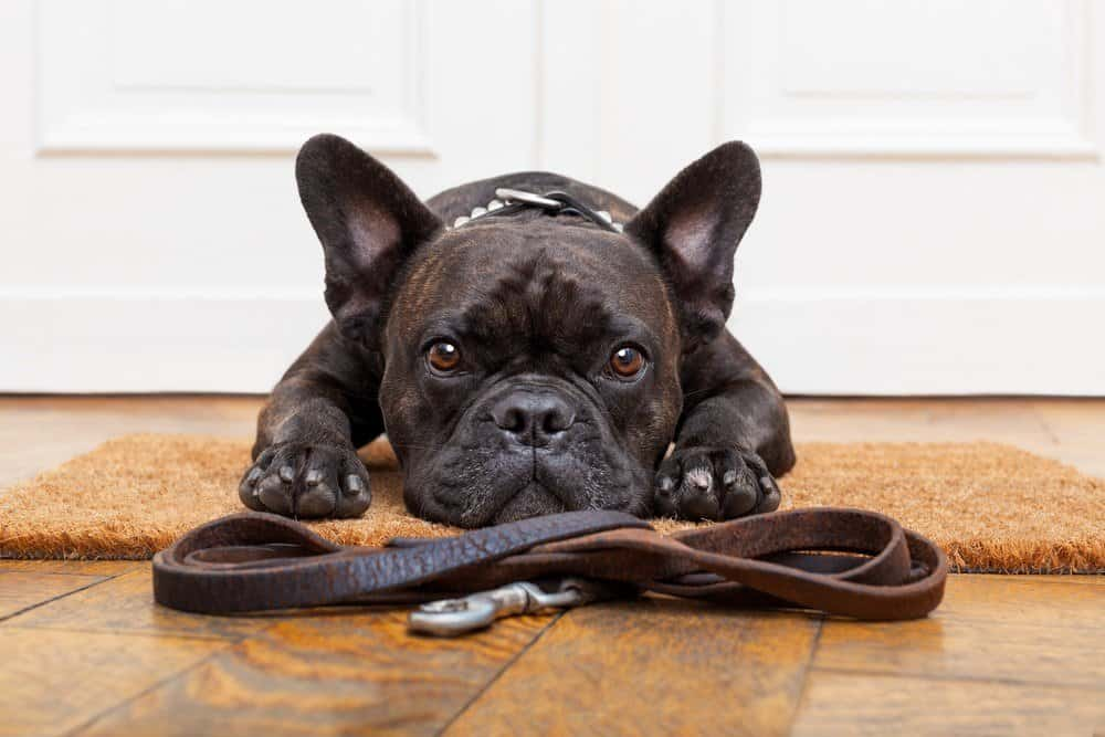 french bulldog waiting with leather leash