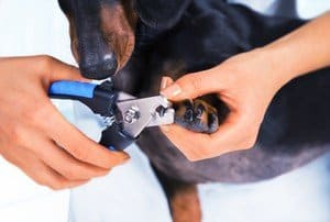 black dog getting nails trimmed