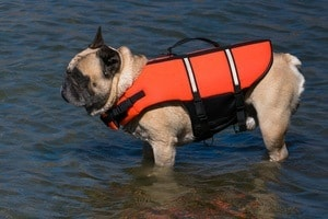 French bulldog in life jacket