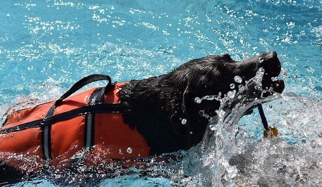 black dog swimming with life jacket