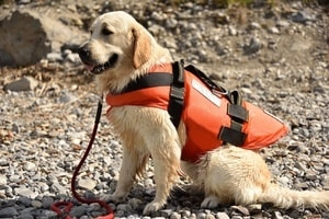 Golden Retriever in life vest