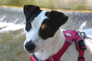 jack russel in red rear attachment no pull dog harness
