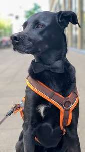 black dog in no pull dog harness