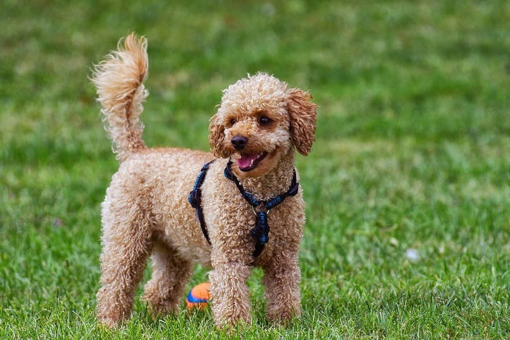poodle in a blue harness for dogs