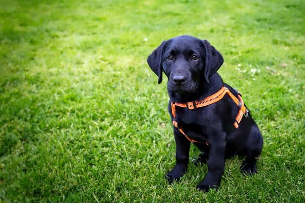 black dog in harness