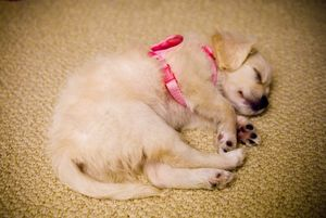 puppy sleeping in pink harness