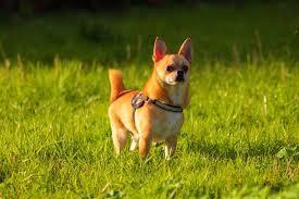 chihuahua standing outside