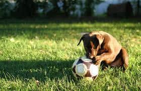 small dog playing with soccer ball