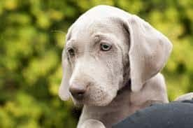 puppy with droopy ears