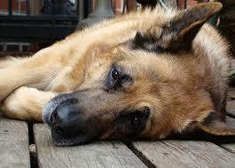 German Shepherd Dog laying on its side.