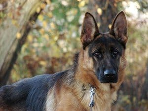 German Shepherd dog from the side