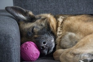 German Shepherd dog sleeping