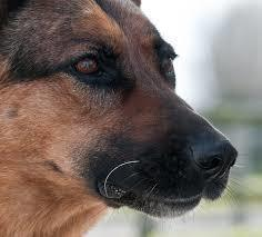 Close-up of German Shepherd