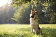 German Shepherd in the Park