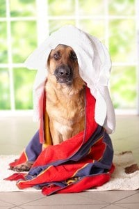 Dog drying after bath