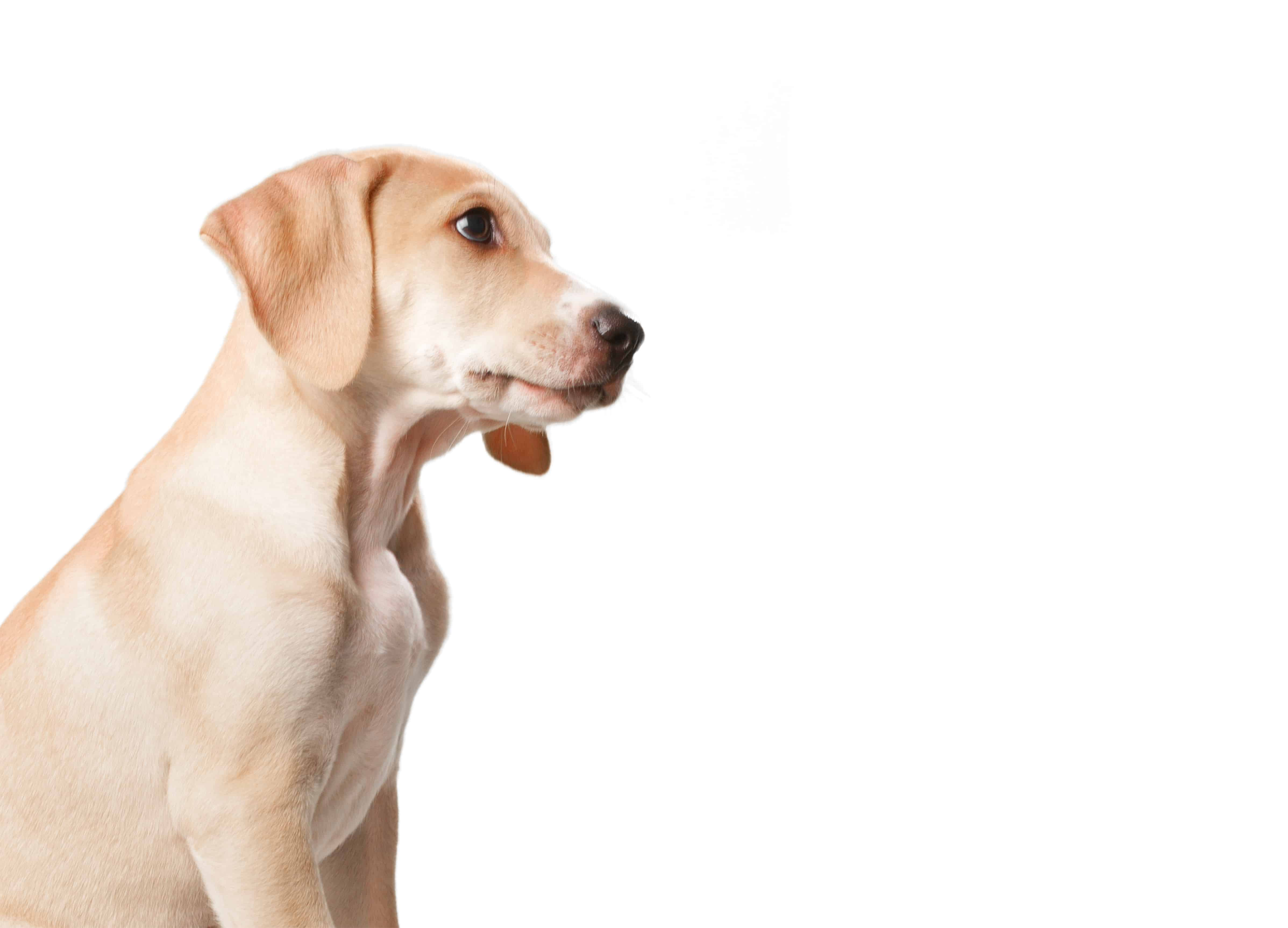 blonde dog with mouth closed