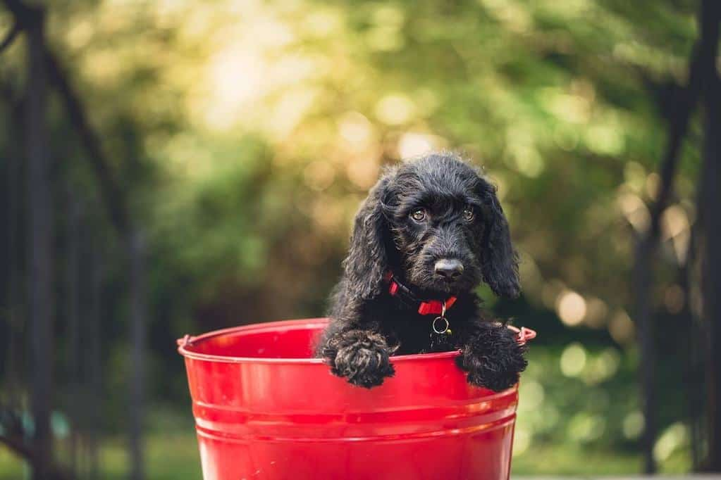 puppy in red water bucket