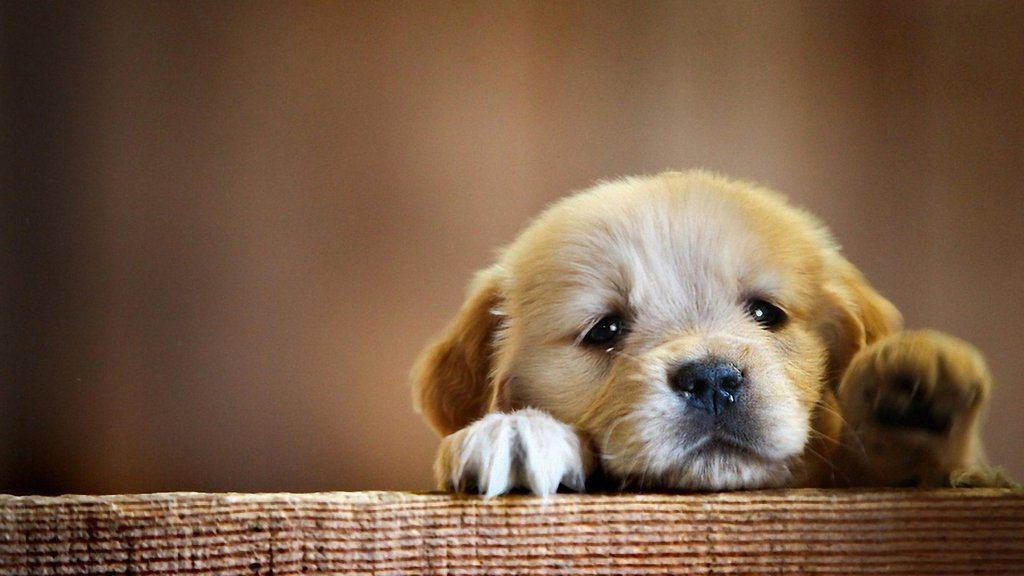 Puppy looking over ledge.
