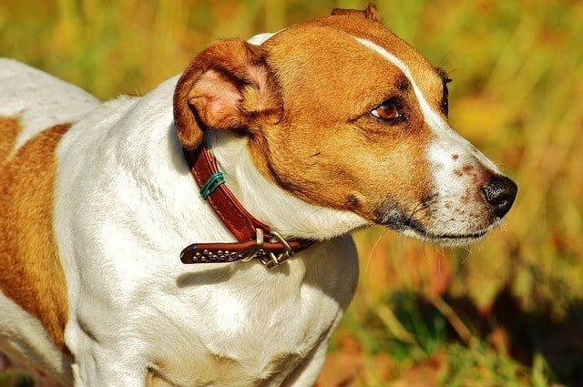brown and white dog with red collar