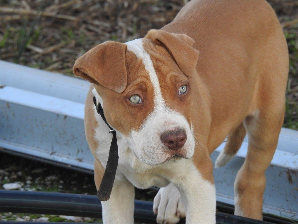 brown pitbull outside crate