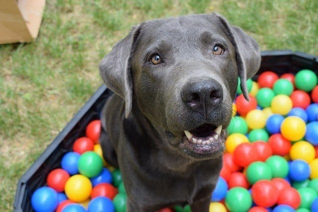 dark pitbull in ball pit