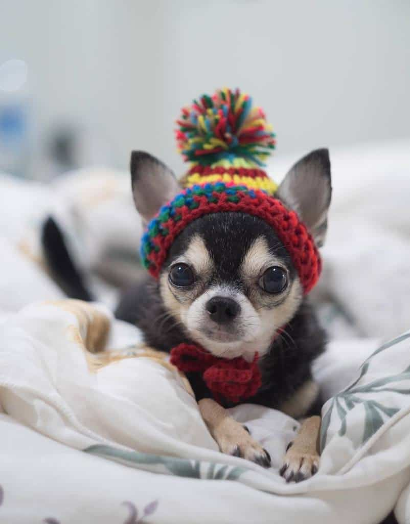 puppy wearing beanie