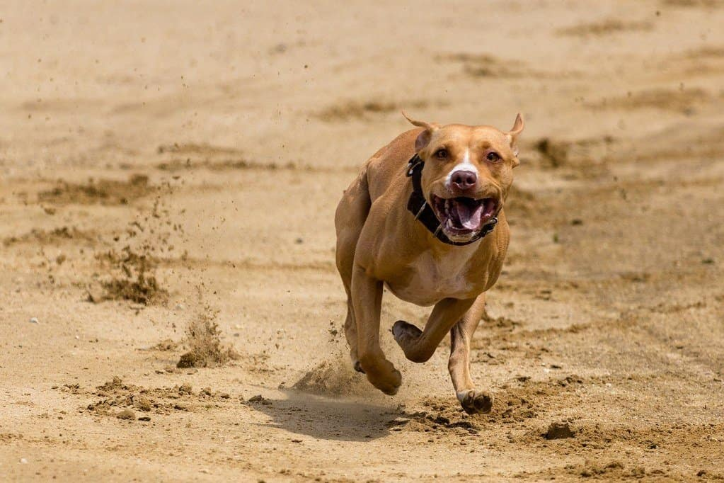 brown pit bull running