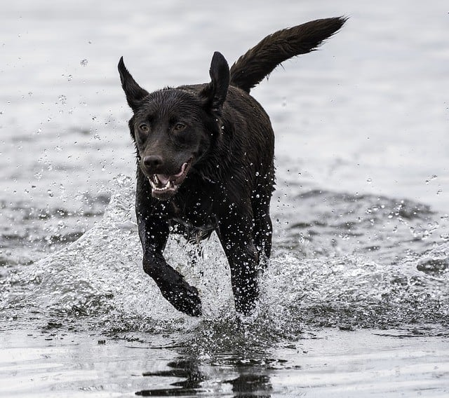 big black dog running on beach