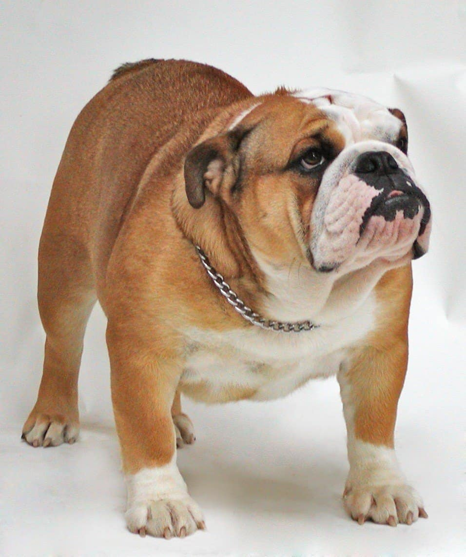 English Bulldog looking up.