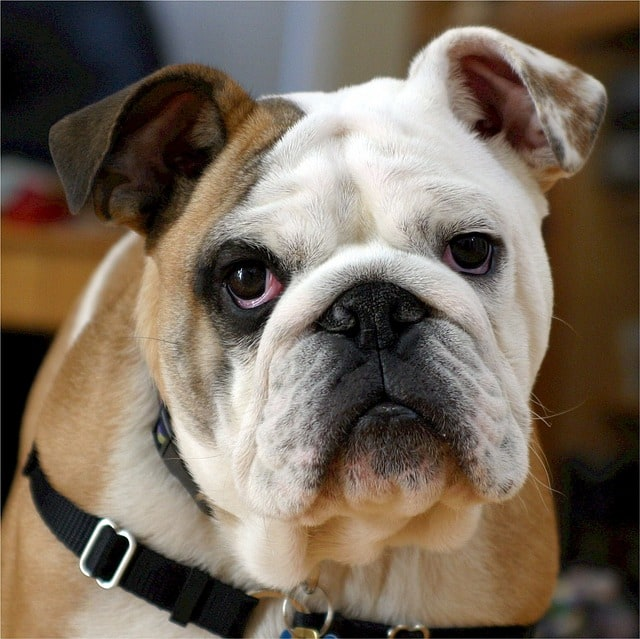 english bulldog close-up
