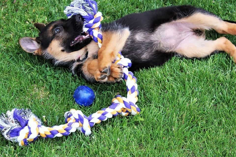 German Shepherd puppy playing with rope toy