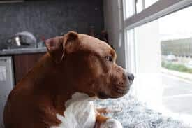 pitbull looking outside