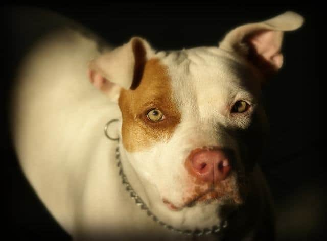 white pitbull close up