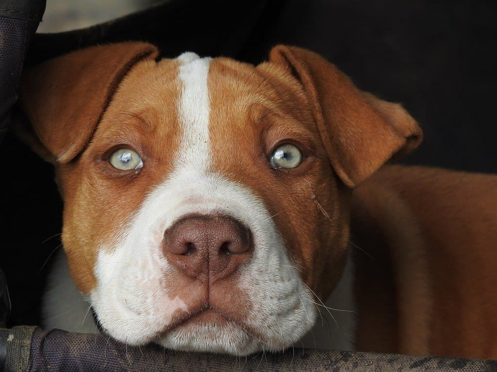 close-up of pit bull in crate