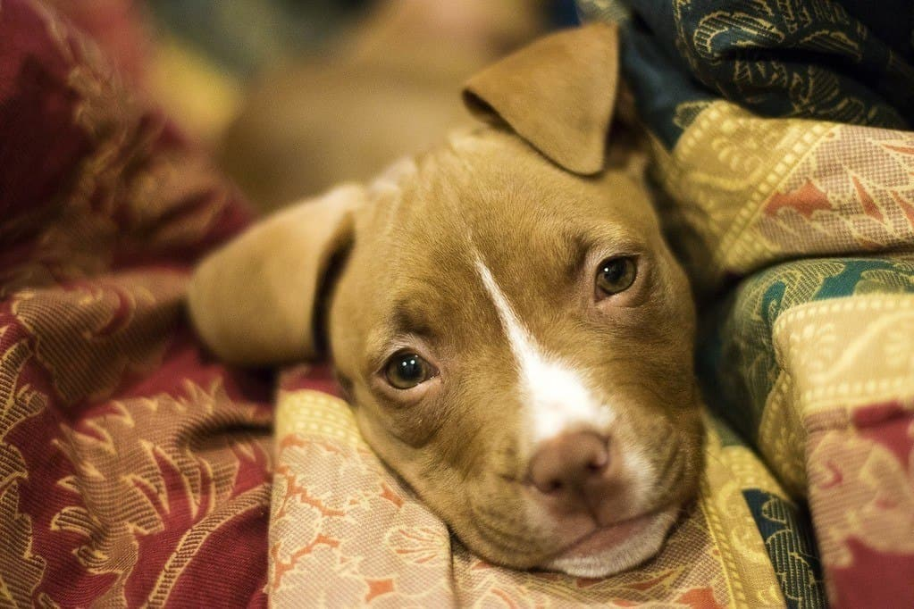pit bull puppy close-up