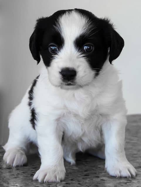 black and white puppy given attention