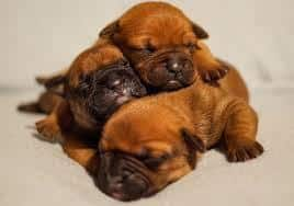 English Bulldog puppies sleeping.