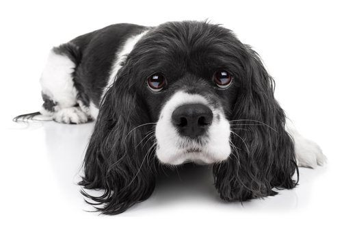 black and white spaniel dog scared