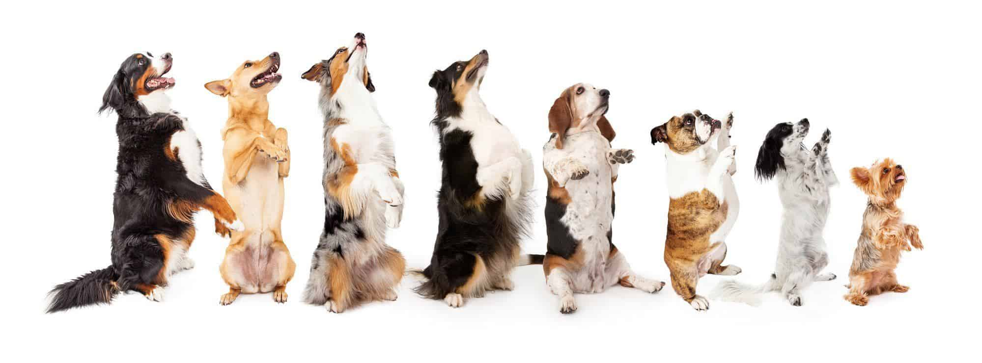 row of dogs standing