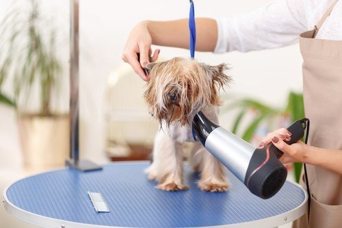 terrier being dried