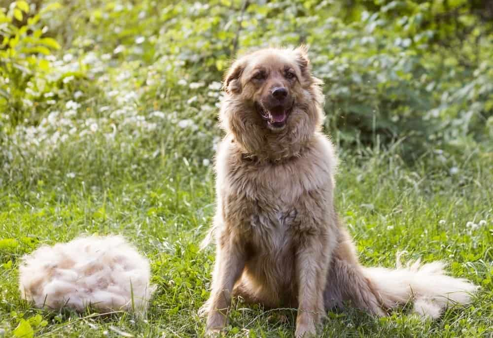 A big fluffy happy dog is sitting