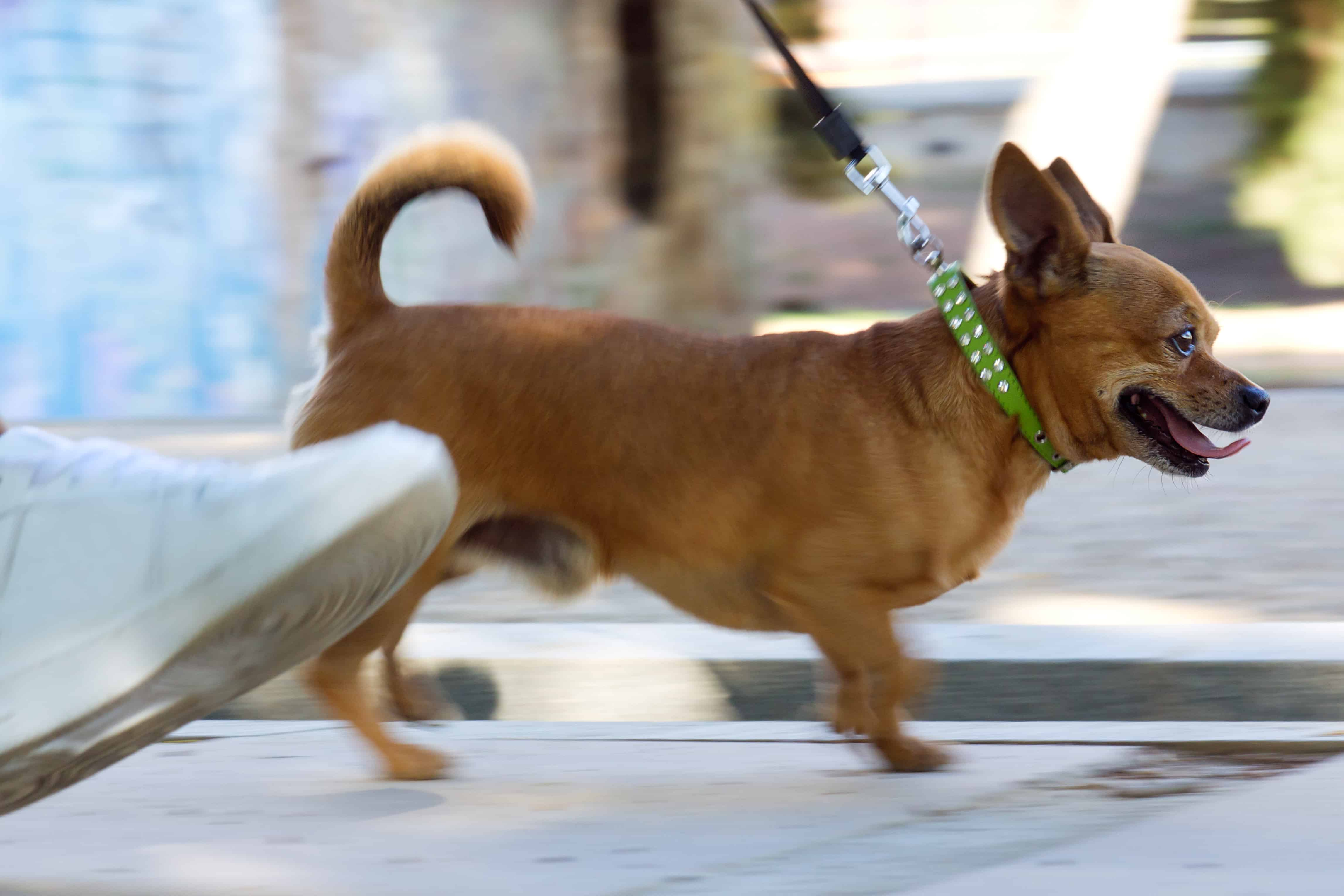 Small dog with green collar walking