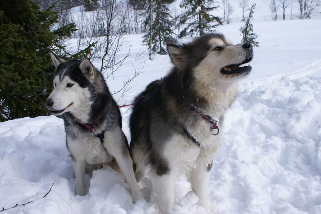 two young Alaskan Malamutes