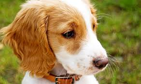 puppy wearing a brown leather collar