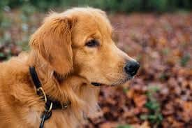 Golden Retriever wearing a properly fitting collar